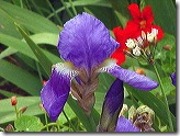 botanic garden iris
